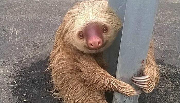 sloth-ecuador